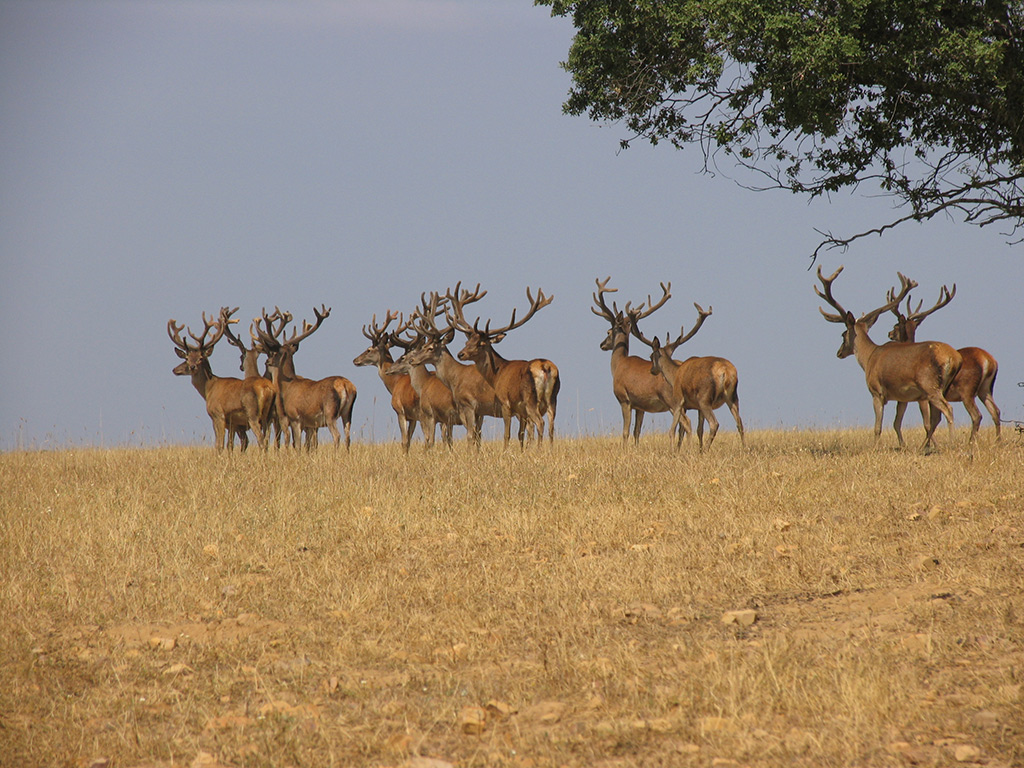 stag-shooting-in-spain