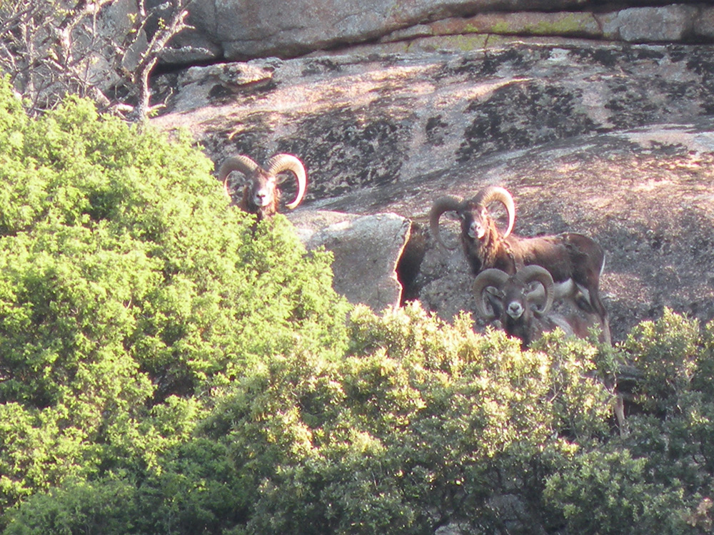 Hunting-mouflon-in-spain