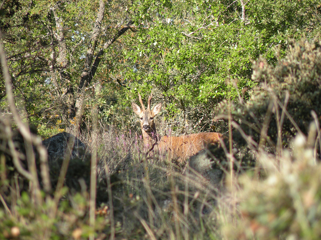 hunt-roe-deer-in-spain
