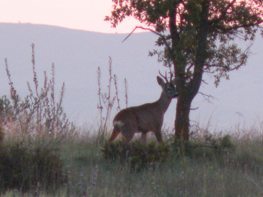hunt-roe-deer-spain