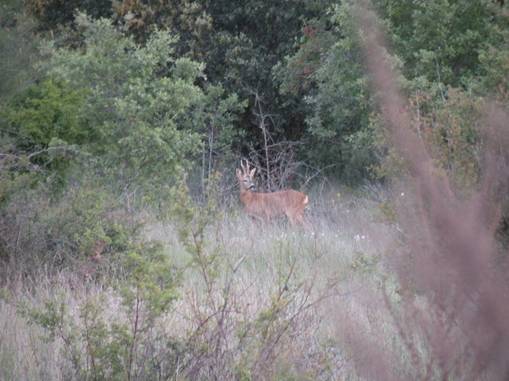 hunting-roe-deer-spain