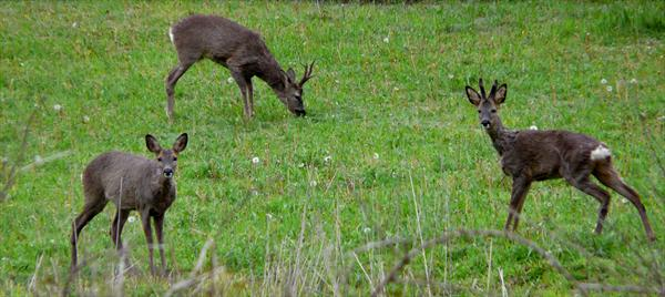 roe-deer-in-spain