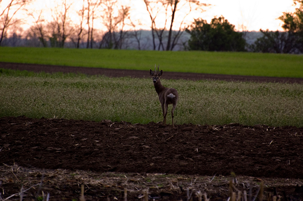 shooting-roe-deer