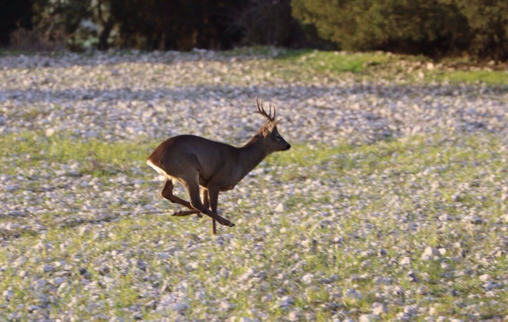 stalking-male-roe-deer-spain