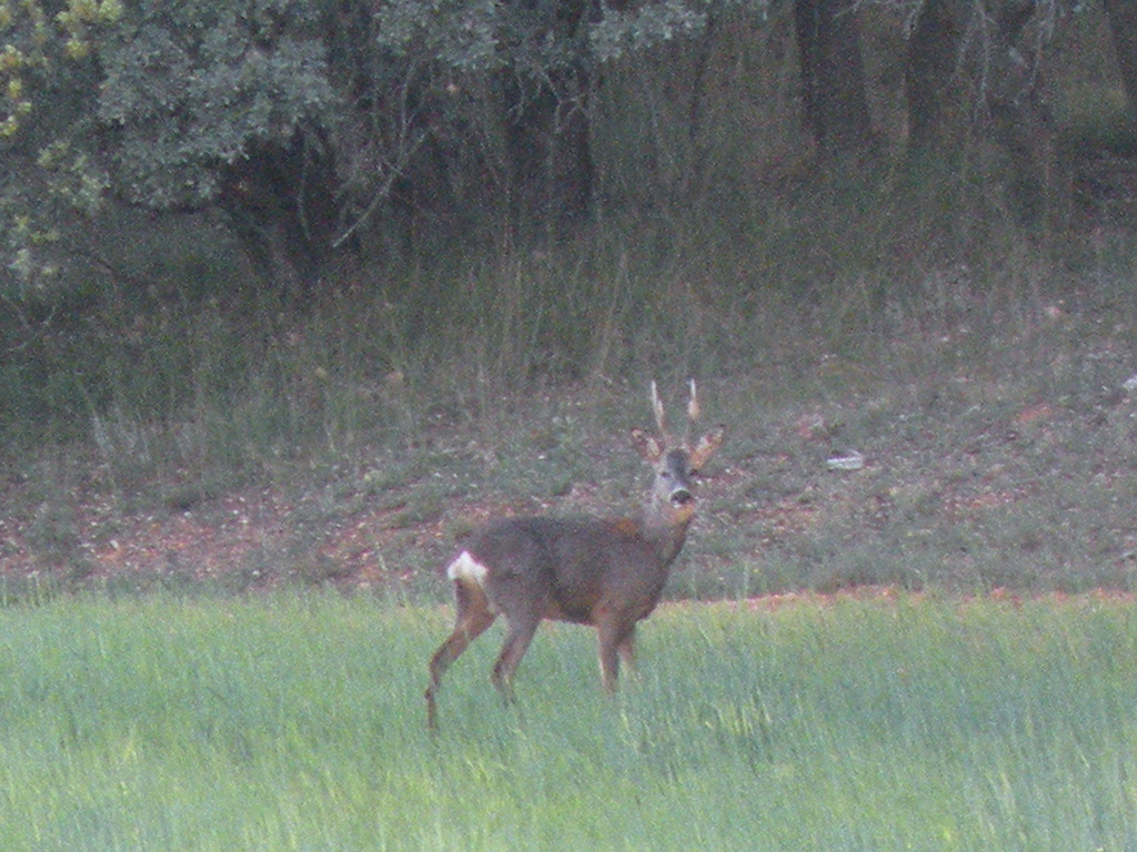 stalking-roe-deer-in-spain