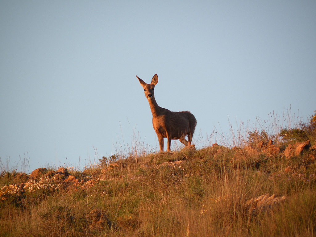 stalking-roedeer-spain