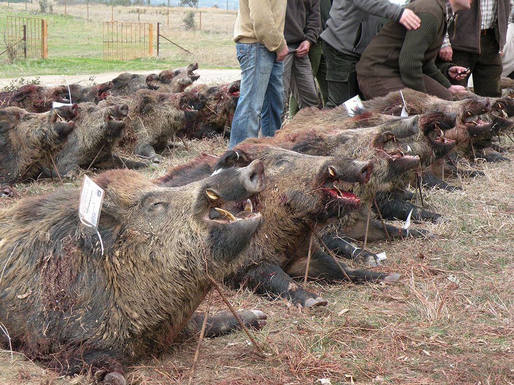 monteria-hunting-spain
