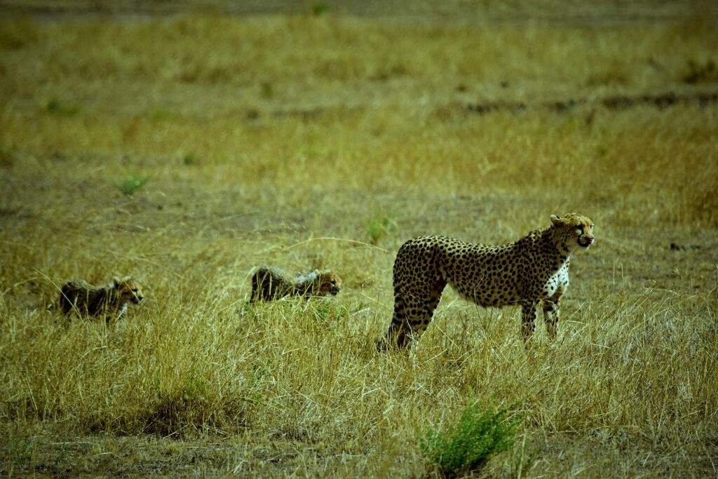 International-hunting-cheetah