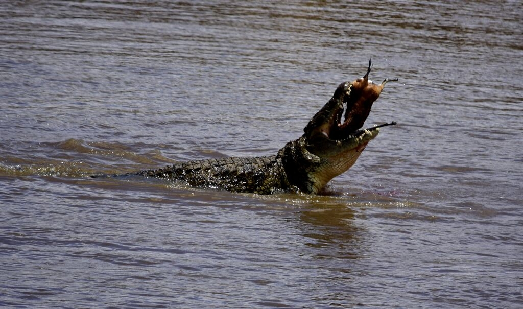 international-hunt-croc