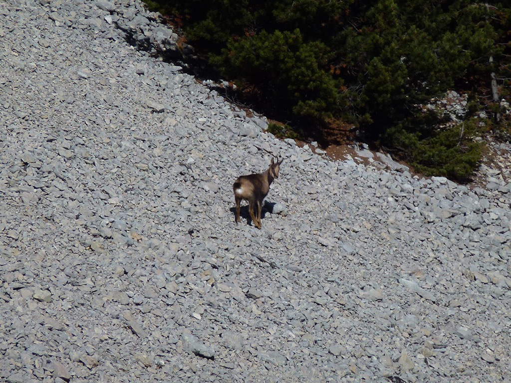 stalking-cantabrian-chamois