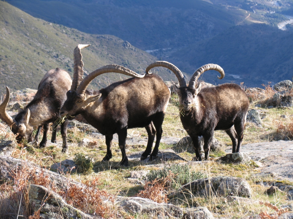 ibex-male-hunt-madrid