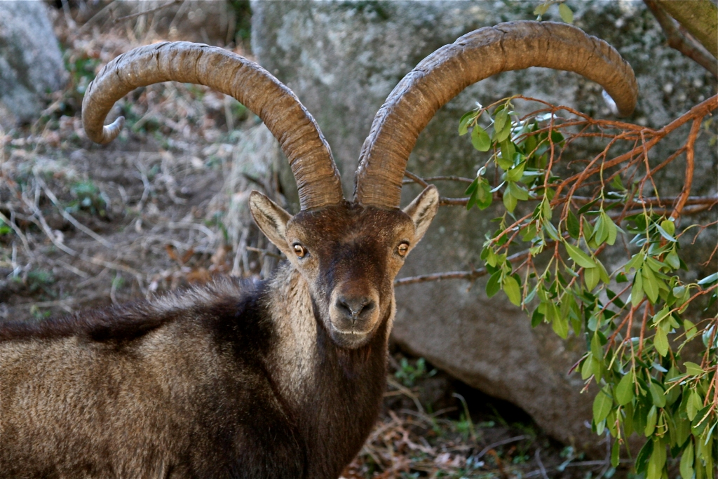 ibex-stalking-gredos-madrid