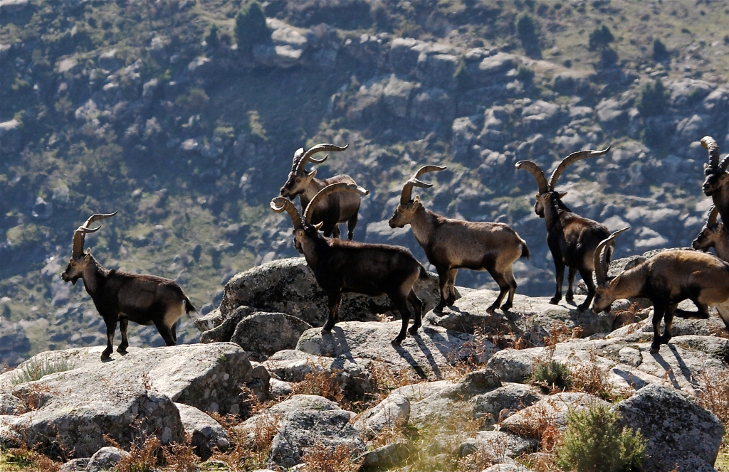 madrid-ibex-hunting