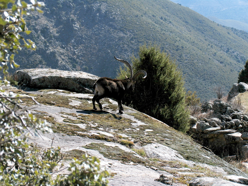 shooting-ibex-male-gredos-madrid