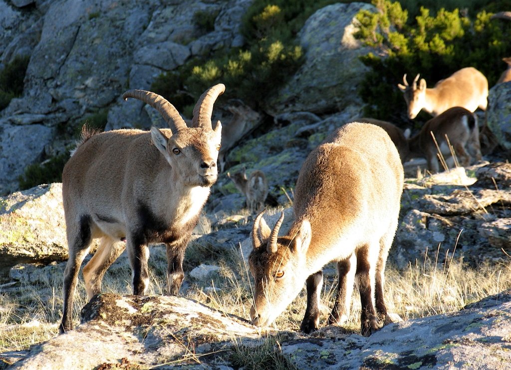 shooting-ibex-male-in-gredos-madrid