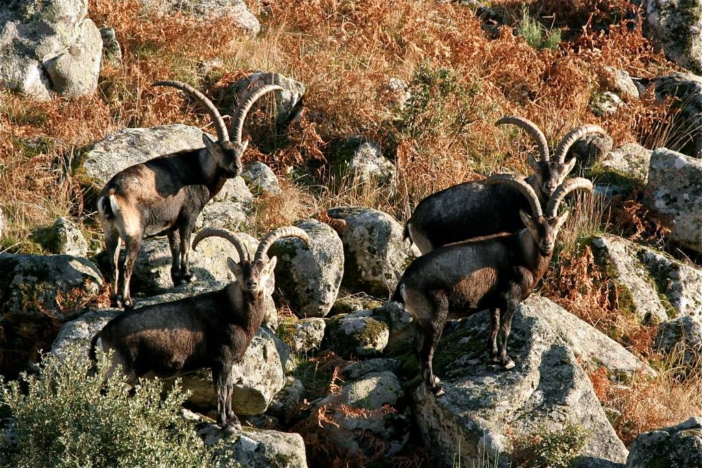 spanish-ibex-in-gredos