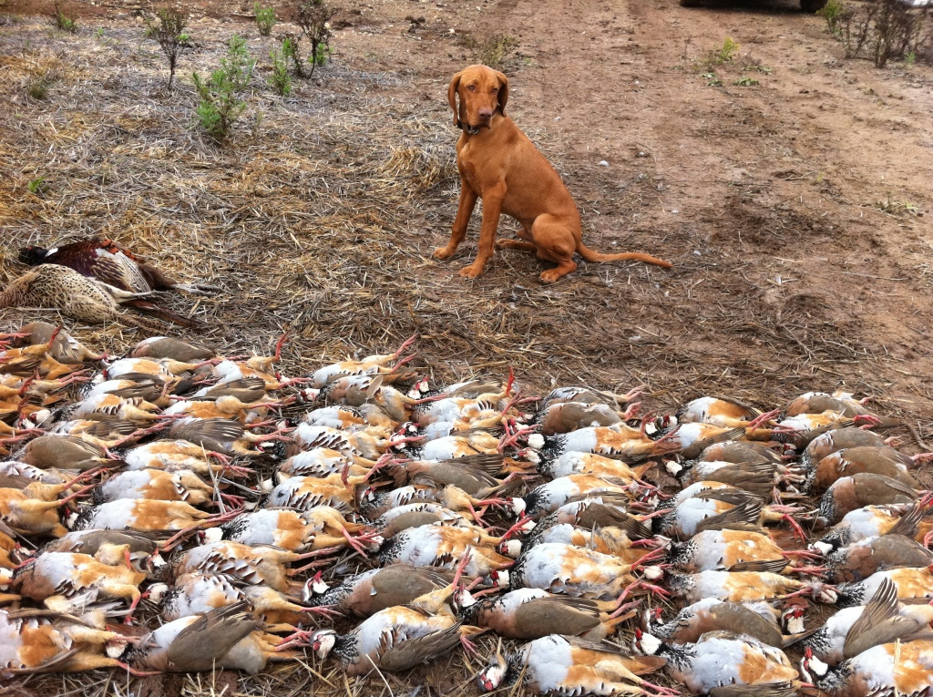 hunting-puppies-dogs-breed-vizsla