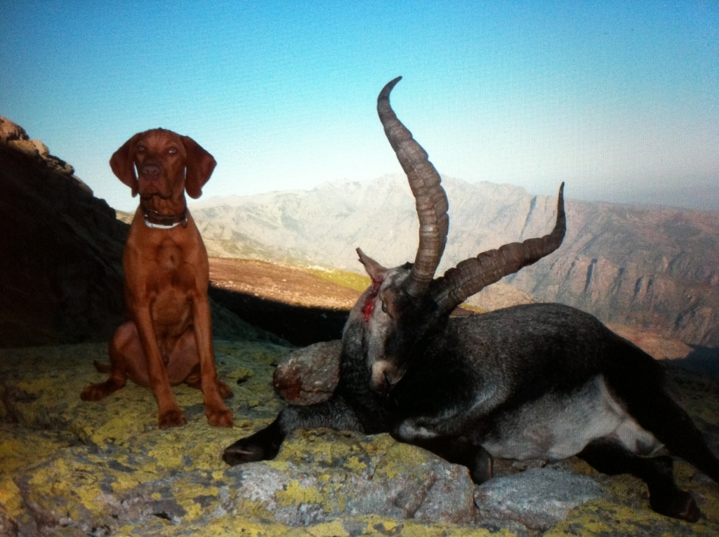 hunting-puppies-dogs-vizsla