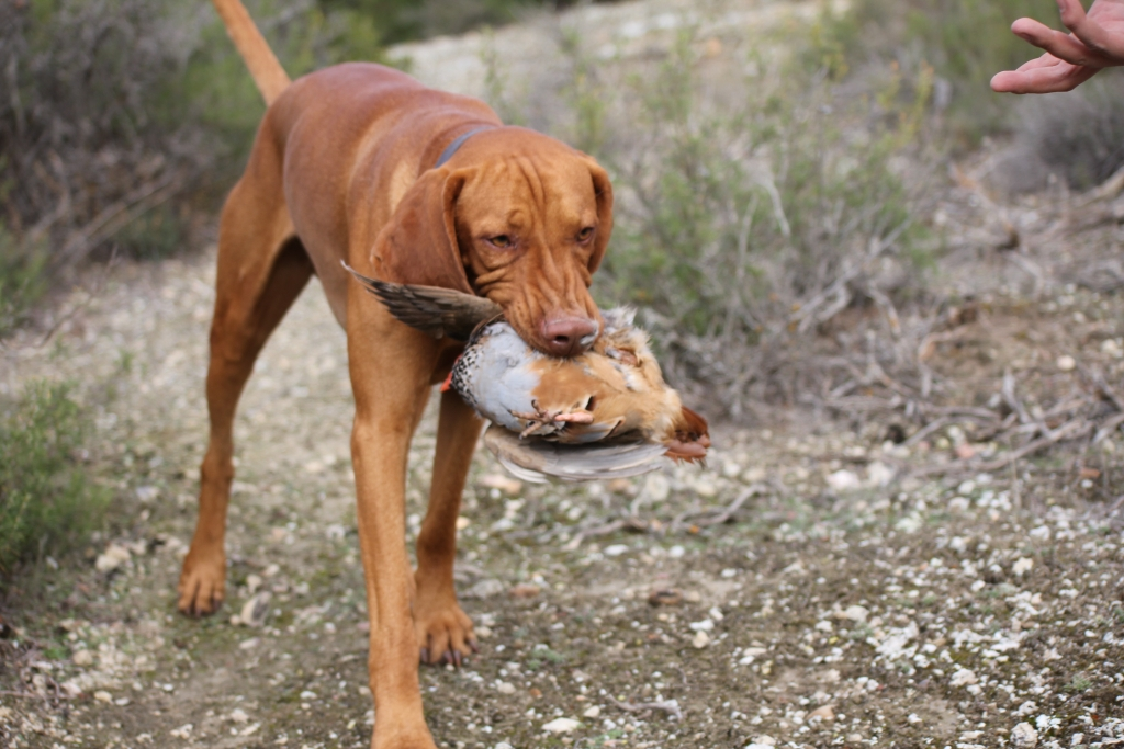 hunting-vizsla-dogs-breed