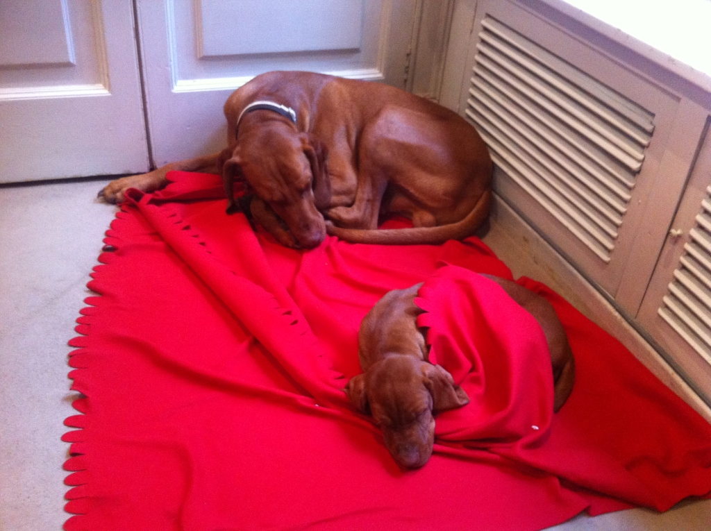 puppy-vizsla-dogs