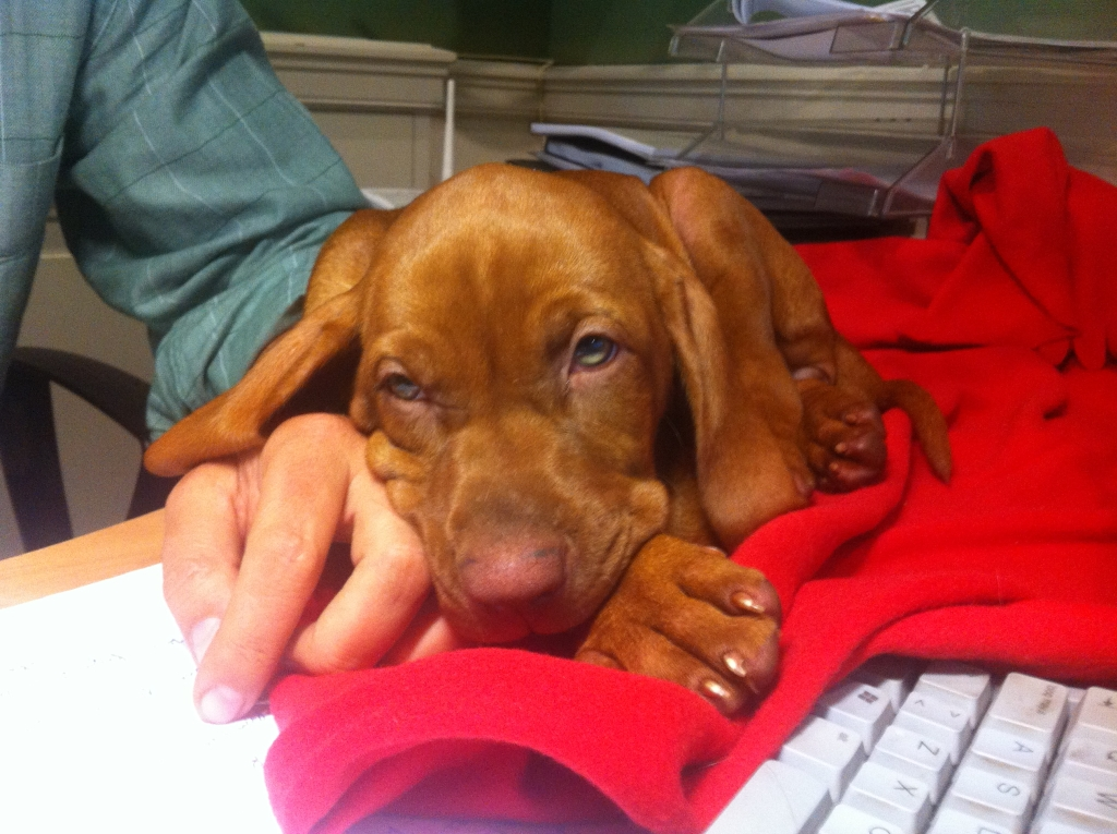 puppy-vizsla-training