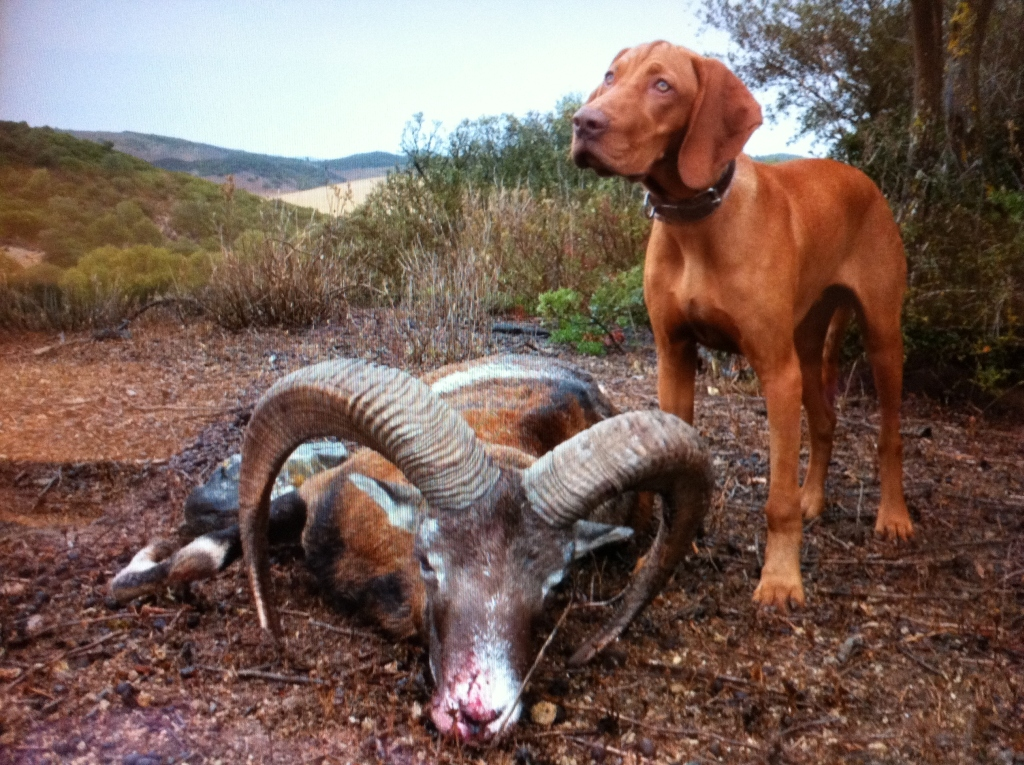 training-hunting-puppies-dogs-vizsla