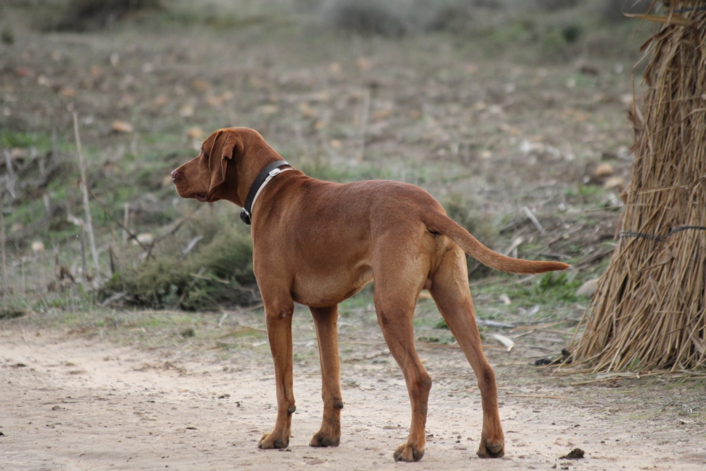 vizsla-breed-dogs-features-for-hunt