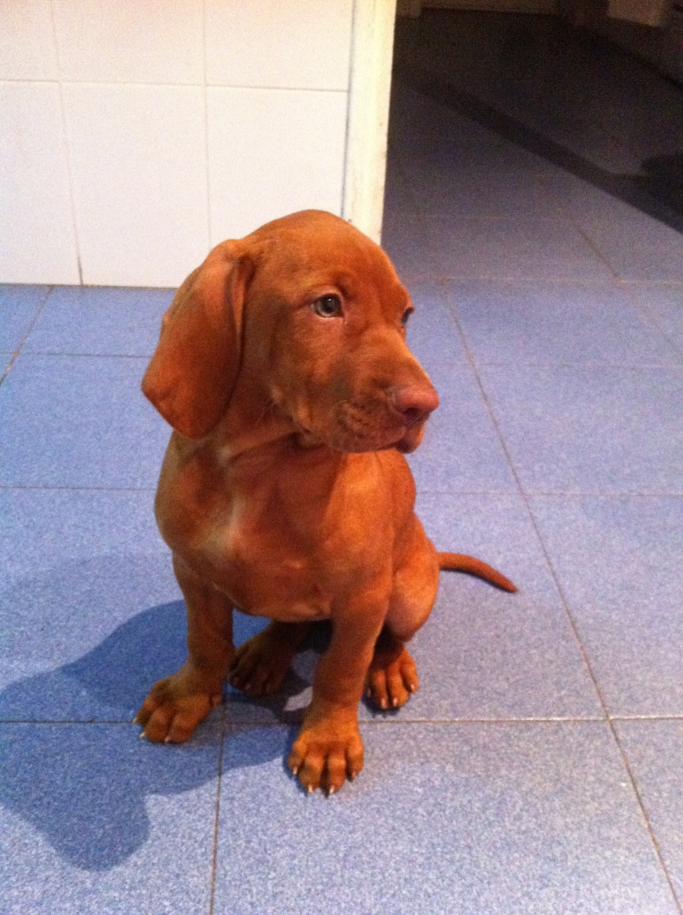 vizsla-dog-training