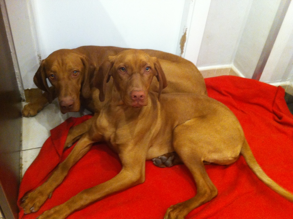 vizsla-dogs-breed-training